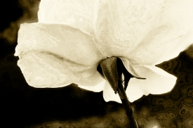 Papa's Rose sepia